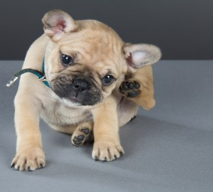 French bulldog puppy sitting and scratching his ear